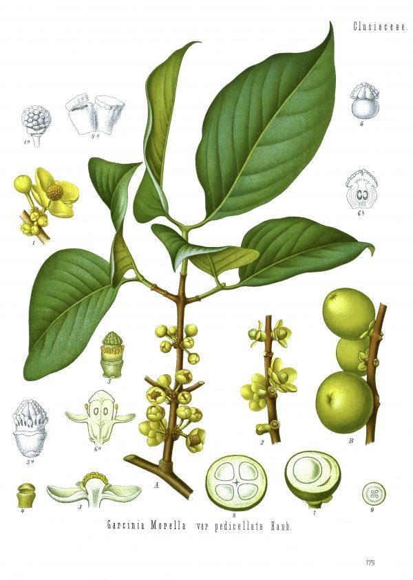 Garcinia Cambodgia-0