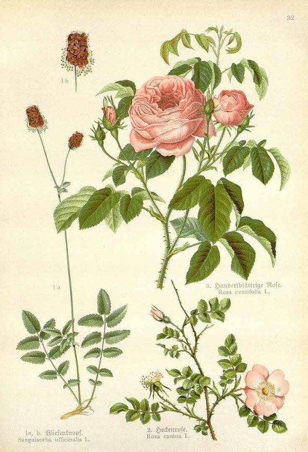 Petalas de Rosa-1