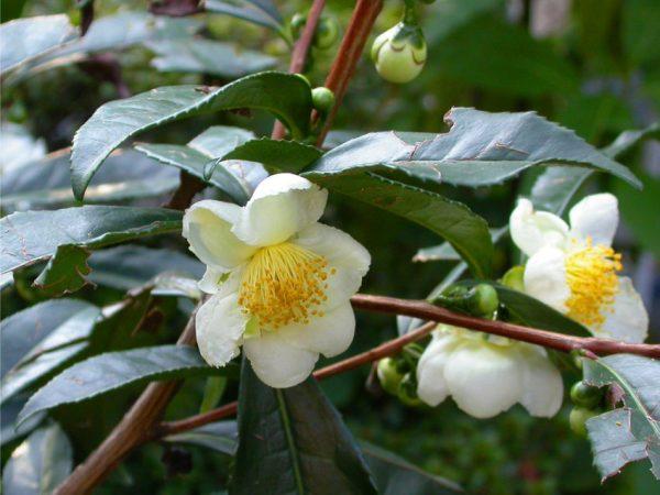 Camellia sinensis-1