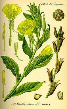 Onagra-Planta-1