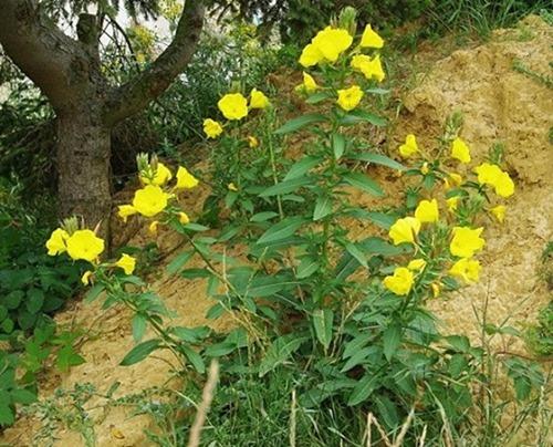 Onagra-Planta-3