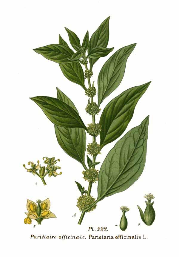 Agrimonia-2