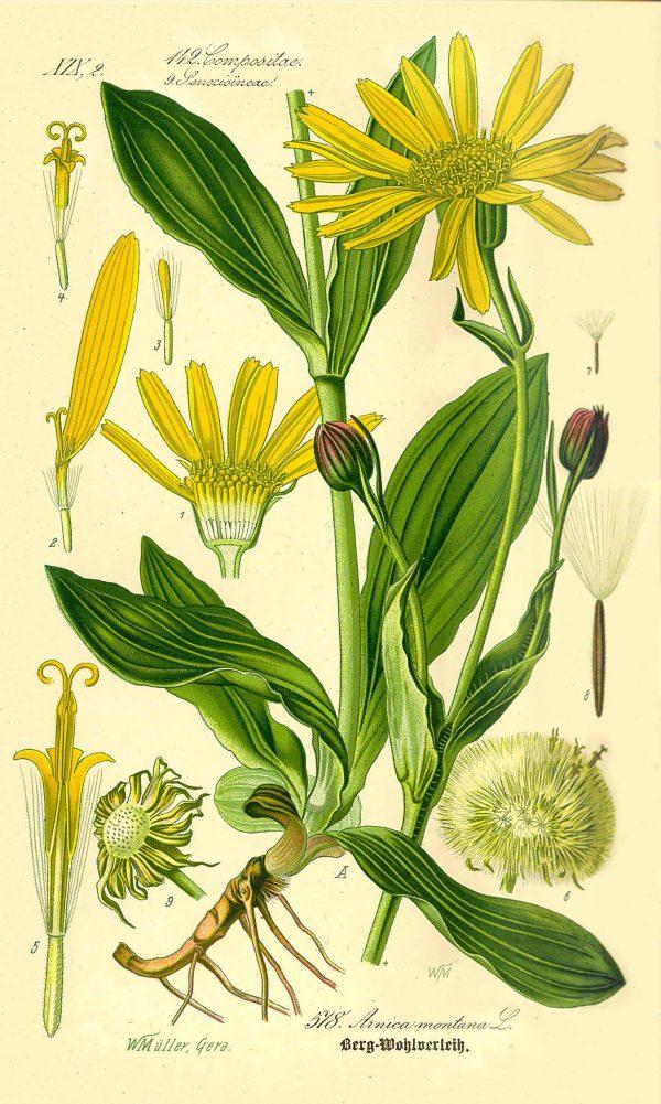 Arnica-Flor-1