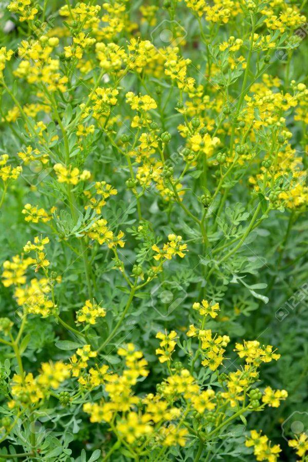 Rue fragrant (odorous) (Ruta graveolens L.). The blossoming plan