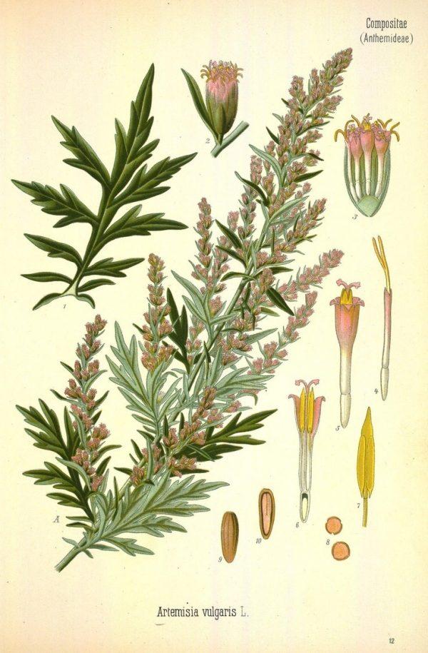 Artemisia-2