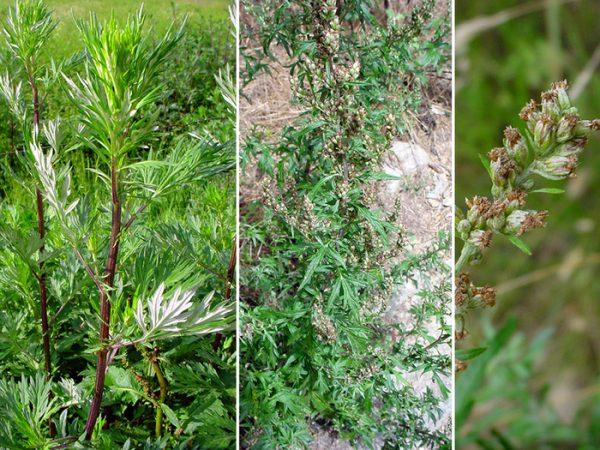 Artemisia-3