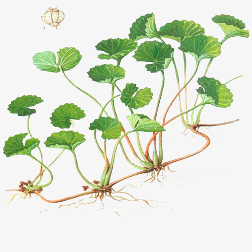 Centelha Asiatica-Planta-1