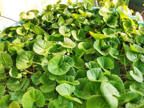 Centelha Asiatica-Planta-3