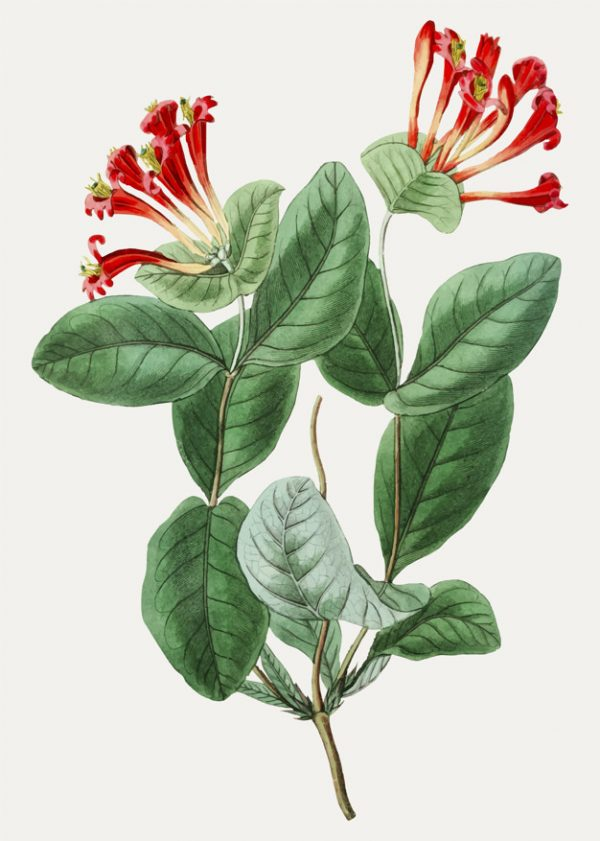 Vintage north-west honeysuckle flower for decoration